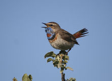 The male Bluethroat singing in the bush willow. Royalty Free Stock Photo