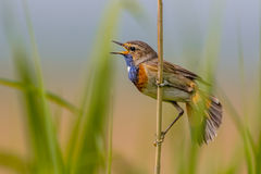 Male Bluethroat singing Royalty Free Stock Images