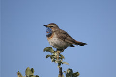 The male Bluethroat sits on a branch of the polar willow. Royalty Free Stock Images