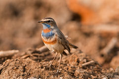 Male Bluethroat warbler Royalty Free Stock Photography