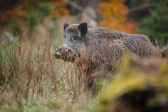 Male boar Royalty Free Stock Photo