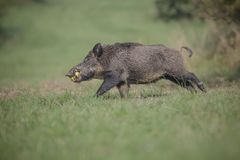 Male boar with apples, running Royalty Free Stock Photography