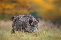 Male boar in autumn Stock Images