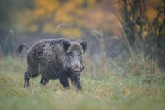 Male boar in autumn Royalty Free Stock Image
