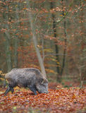 Male boar in fall Royalty Free Stock Photos