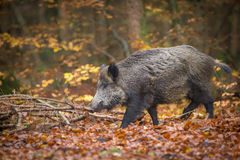 Male boar in fall Royalty Free Stock Images