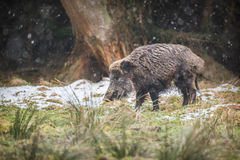 Male boar in falling snow. Wild boar caught in a flurry of snow Royalty Free Stock Photo