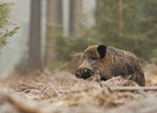 Male boar in the forest. Male boar on a frosty morning in the forest, with trees as a backdrop Royalty Free Stock Photography
