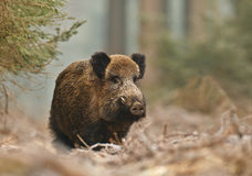 Male boar in the forest. Male boar on a frosty morning in the forest, facing camera Stock Photos