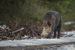 Male boar on forest track Stock Photos