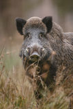 Male boar watching Royalty Free Stock Photography
