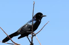 Male boat-tailed grackle Royalty Free Stock Image