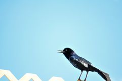 Male Boat-tailed Grackle bird singing on fence. Boat-tailed Grackle perched on a fence and singing in Butterfly World, South Florida Royalty Free Stock Images