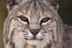 Male Bobcat. Closeup of a Bobcat against a blurred background Royalty Free Stock Photos