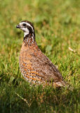 Male bobwhite quail Stock Photography