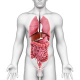 Male body and inner organs. 3d illustration of male human body showing inner organs, white background Royalty Free Stock Image