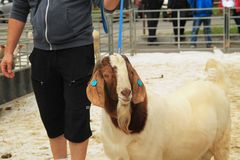 Male Boer goat. Big male Boer goat walking on the leash at the exhibition of farm animals in Vendryne, Czech Republic, October 14, 2017 stock photos