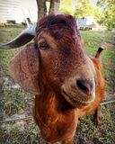 Male boer goat. Close up of billy goat royalty free stock photography