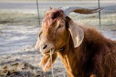 Male boer goat. Eats hay stock image