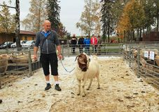 Male Boer goat with its owner. Big male Boer goat walking on the leash with its owner at the exhibition of farm animals in Vendryne, Czech Republic, October 14 stock photos