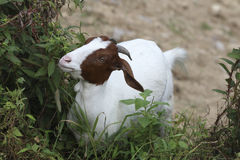 A male Boer goats are eating grass on the hillside. White body, brown face and ears, and short horns Royalty Free Stock Image