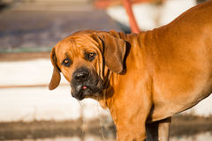 Male Boerboel puppy Royalty Free Stock Photography