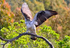 Male Bonelli's eagle spreading wings Royalty Free Stock Images