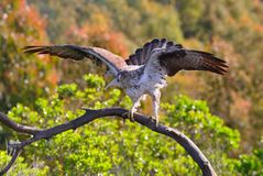 Male Bonelli's eagle spreading wings Royalty Free Stock Photography