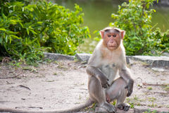Male Bonnet Macaque. Sitting in a human pose at Gingee Fort, India Royalty Free Stock Photography