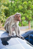 Male Bonnet Macaque on a Car Roof. Bonnet macaque on a parked car in Gingee, India Royalty Free Stock Image