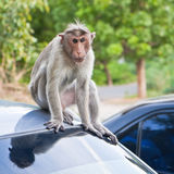 Male Bonnet Macaque on a Car Roof. Aggressive bonnet macaque on a parked car in Gingee, India Royalty Free Stock Photos