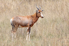 Male Bontebok antelope  Royalty Free Stock Photos