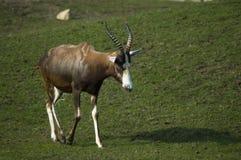 A male bontebok antelope on the grass. An antelope walking in a park stock photos