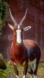 Male Bontebok Antelope Stock Images