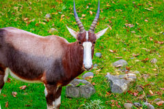 Male Bontebok Antelope Stock Photo