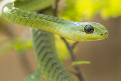 Male Boomslang snake (Dispholidus typus), South Africa. Male Boomslang snake (Dispholidus typus) in South Africa Stock Images