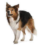 Male Border Collie, 3 years old, standing Stock Photography