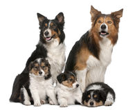 Male Border Collie, 7 years old Royalty Free Stock Image