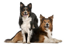 Male Border Collie, 7 years old, Female Border Royalty Free Stock Photo
