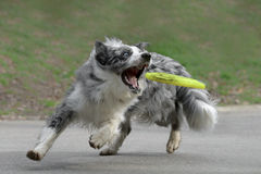 Male border collie dog. Playing with a frisbee royalty free stock images