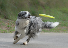 Male border collie dog. Playing with a frisbee stock photography