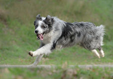 Male border collie dog Royalty Free Stock Photo