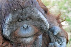 Male Bornean Orang Utan stock photography
