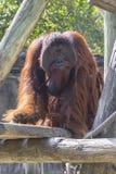 Male Bornean Orangutan. A large, serious looking Bornean male orangutan Stock Images