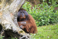 Male Bornean orangutan Royalty Free Stock Photos