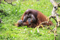 Male Bornean orangutan Stock Photos