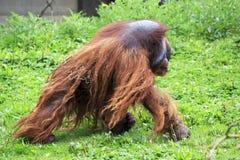 Male Bornean orangutan Royalty Free Stock Photography