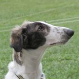 Male Borzoi puppy. Being very attentive Stock Images