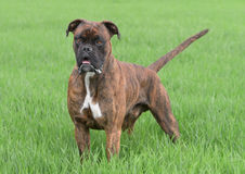 Male boxer dog. In park. The dog is preparing to start running stock photo