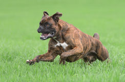 Male boxer dog. In a park running stock image